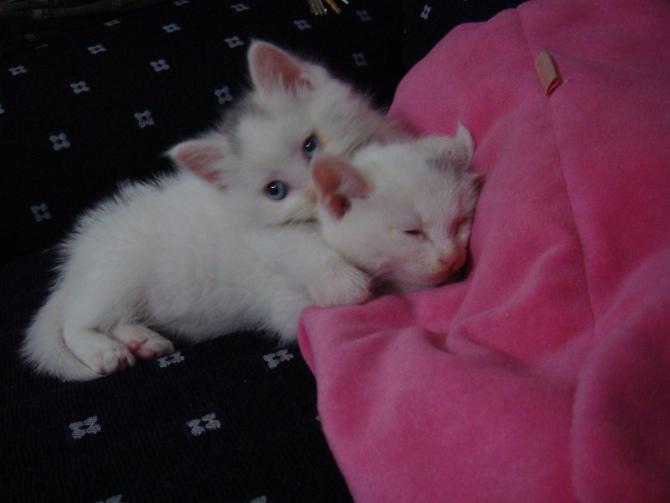 我自己养了两只可爱的小猫咪,两只全身白色的猫,唯一区别是一只猫头顶有两小簇黑毛,另一只有一簇黑猫,虽然显得不是全白,但这簇黑毛长的很正点,反而让人感觉猫更可爱。 由于经济问题,无法继续养猫,但猫太可爱,不想他们流浪受罪,所以想找个有爱心的人领养。养猫全套东西我都有,免费赠送。 想领养可以联系我