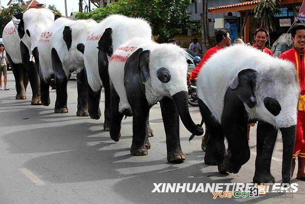 泰国因一只刚出生的熊猫陷入热潮,动物园将大象化妆成熊猫模样以吸引