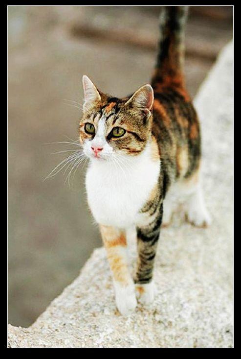 猫咪品种大全:猫咪品种知多少(共100种)——欢迎众猫友补充!
