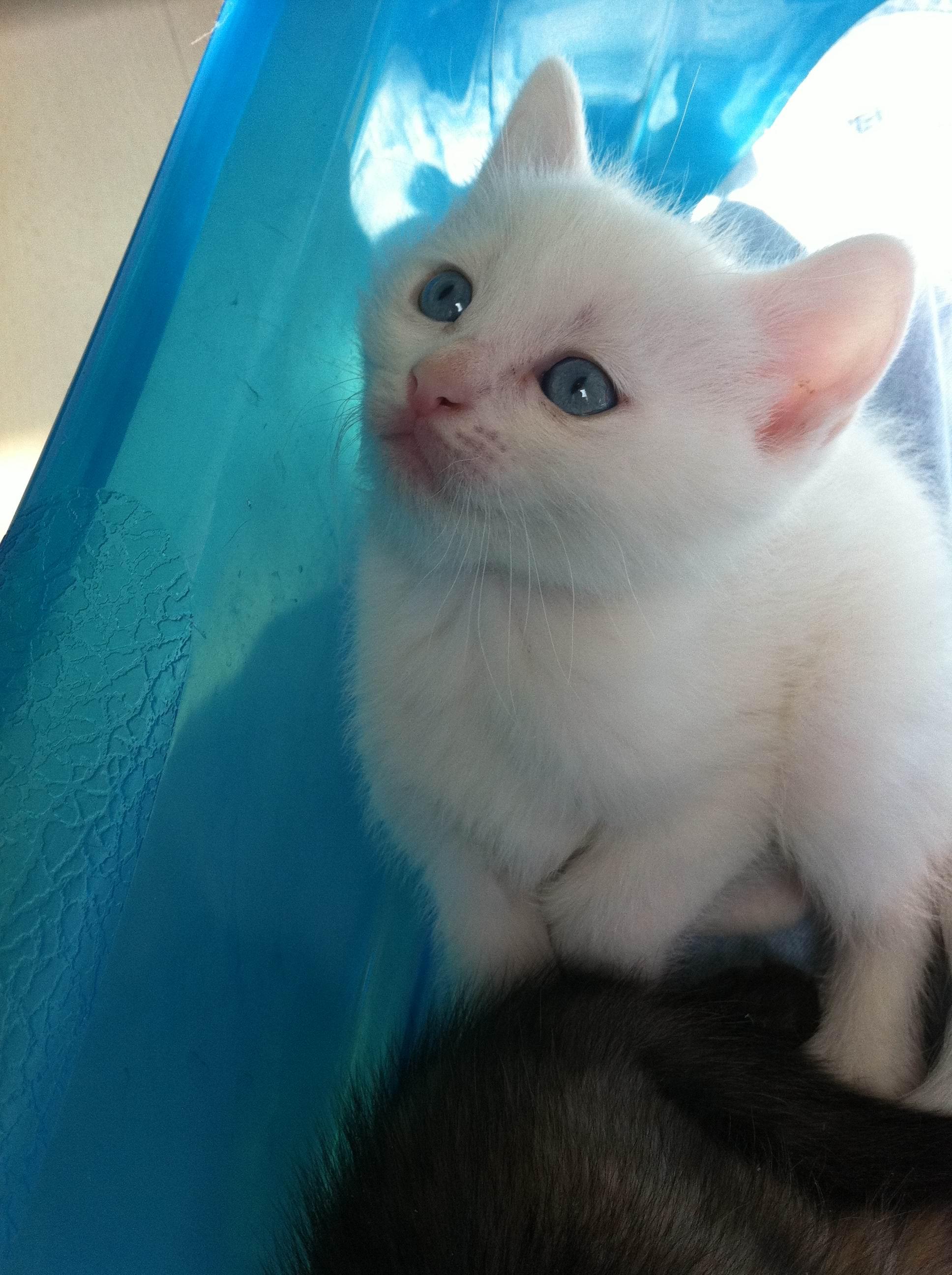 两个月的猫咪寻领养,一只黑(是黑狸),一只白猫,都很漂亮亲人.