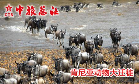 狂野非洲:肯尼亚动物大迁徙!