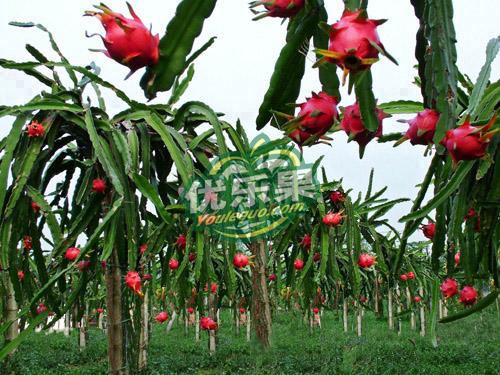 火龙果树为仙人掌科的三角柱属植物,原产于巴西,墨西哥等中美洲热带沙